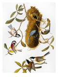 Audubon: Titmouse Giclee Print by John James Audubon