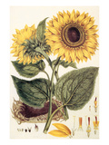 Sunflower Giclee Print by John Miller