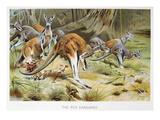 Red Kangaroo Prints