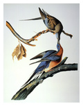 Audubon: Passenger Pigeon Prints by John James Audubon
