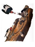 Audubon: Woodpecker Poster by John James Audubon