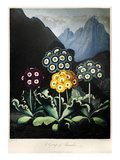 Thornton: Auriculas Giclee Print by Frederick Christian Lewis