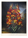 Thornton: Superb Lily Giclee Print by William Ward