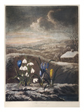 Thornton: Crocusi Giclee Print by William Ward