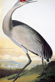 Audubon: Sandhill Crane Giclee Print by John James Audubon