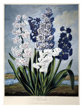 Thornton: Hyacinths Posters by Warner