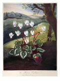 Thornton: Cyclamen Art by William Elmes