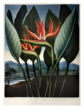 Thornton: Strelitzia Giclee Print by Richard Cooper the Younger