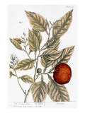 Orange Tree, 1735 Premium Giclee Print by Elizabeth Blackwell