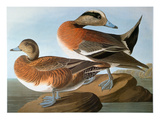 Audubon: Wigeon, 1827-38 Prints by John James Audubon