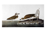 Audubon: Plover, 1827-38 Print by John James Audubon