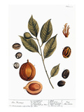 Nutmeg, 1735 Giclee Print by Elizabeth Blackwell