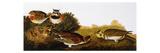Audubon: Lark Premium Giclee Print by John James Audubon