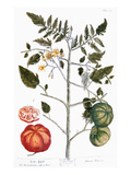 Tomato Plant, 1735 Giclee Print by Elizabeth Blackwell