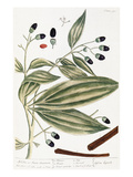 Malabar Cinnamon, 1735 Prints by Elizabeth Blackwell
