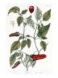 Chili Pepper, 1735 Premium Giclee Print by Elizabeth Blackwell