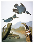 Audubon: Kingfisher, 1827 Giclee Print by John James Audubon