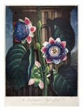 Thornton: Passion-Flower Print by James, The Elder Hopwood
