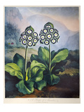 Thornton: Auriculas Giclee Print by Richard Earlom