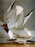 Audubon: Gull Art by John James Audubon