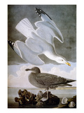 Audubon: Gull Prints by John James Audubon
