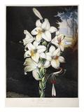 Thornton: White Lily Prints by Joseph Constantine Stadler