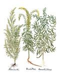 Artemisiae & Reseda Giclee Print by Besler Basilius