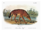 Red Wolf (Canis Lupus) Art by John James Audubon