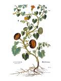 Gourd, 1735 Print by Elizabeth Blackwell