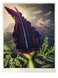 Thornton: Dragon Arum Giclee Print by William Ward