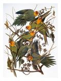 Audubon: Parakeet Posters by John James Audubon