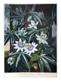 Thornton: Passion-Flower Poster by Caldwall
