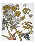 Herbal: Fennel, 1819 Giclee Print