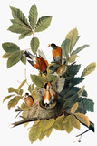 Audubon: Robin Giclee Print by John James Audubon