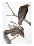 Audubon: Red-Tailed Hawk Giclee Print by John James Audubon