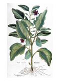 Eggplant, 1735 Giclee Print by Elizabeth Blackwell