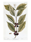 Cooffe Plant, 1735 Giclee Print by Elizabeth Blackwell
