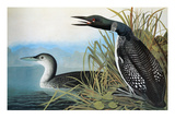 Audubon: Common Loon Giclee Print by John James Audubon
