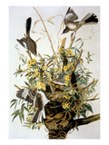 Northern Mockingbird Giclee Print by John James Audubon