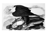The Bald Eagle Giclee Print by John James Audubon