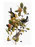 Audubon: Warbler Reproduction giclée Premium par John James Audubon