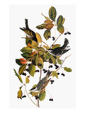 Audubon: Warbler Print by John James Audubon
