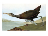Audubon: Limpkin Giclee Print by John James Audubon