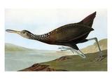 Audubon: Limpkin Poster by John James Audubon
