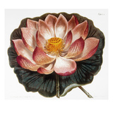 Water Lily, 1806 Prints