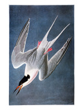 Audubon: Tern Posters by John James Audubon