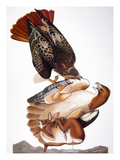 Audubon: Red-Tailed Hawk Poster by John James Audubon