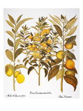 Citron And Orange, 1613 Premium Giclee Print by Besler Basilius