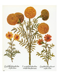 Marigolds, 1613 Posters by Besler Basilius