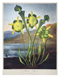 Thornton: Pitcher Plant Posters by Richard Cooper the Younger